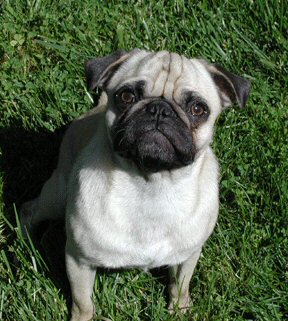 Arnie -- my newest agility pug. He's a 3-year old