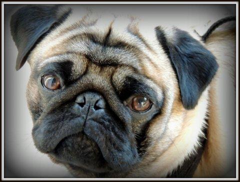 Northern California Pug Club – Northern California Pug Owners