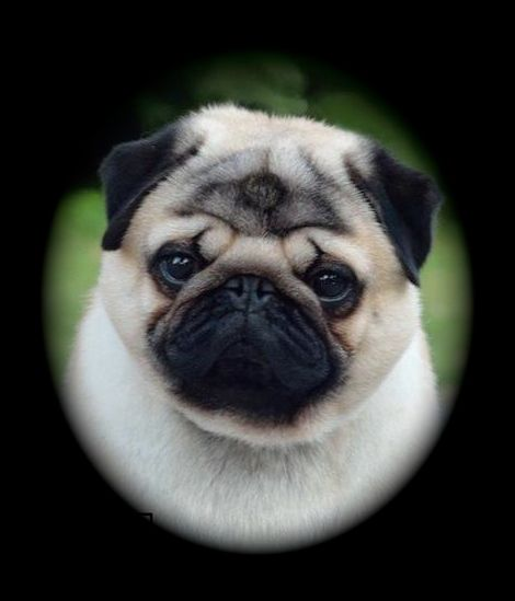 pug of the month