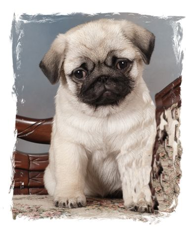 Pug of the Month April 2015 – Northern California Pug Club